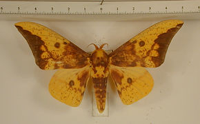 Eacles imperialis cacicus mâle