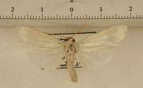Agylla nivea mâle
