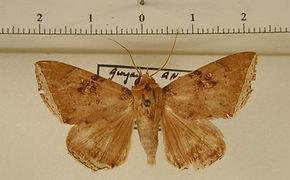 Pseudophisma pritanis mâle