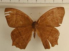 Taygetis virgilia mâle