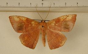 Microgonia ruraria mâle