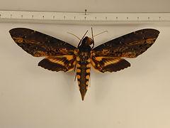 Neococytius cluentius mâle