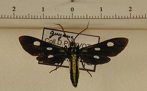 Calonotos tripunctatus mâle