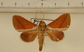 Strophocerus thermesia mâle
