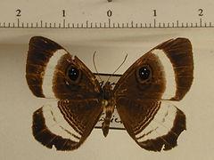 Mesosemia nympharena mâle
