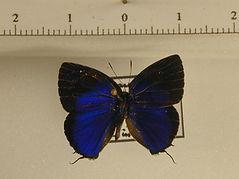 Theclinae sp2 mâle