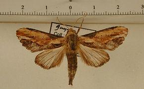 Pentobesa densissima mâle