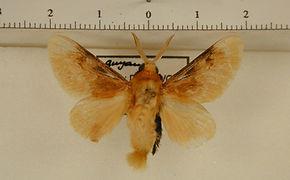 Megalopyge opercularis mâle