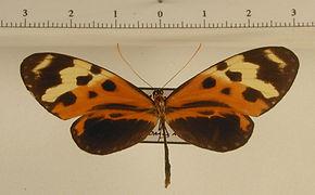 Mechanitis mazaeus pannifera mâle