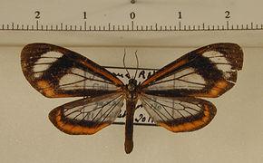 Hyalurga leucophlebia mâle