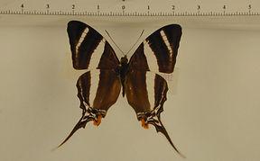 Marpesia orsilochus mâle