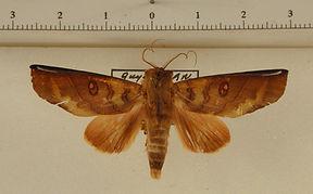 Canodia difformis mâle