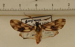 Ardonea tenebrosa mâle