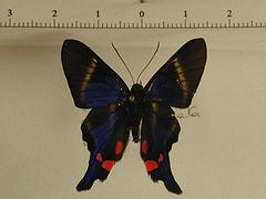 Rhetus periander periander mâle