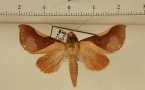 Strophocerus cossoides mâle