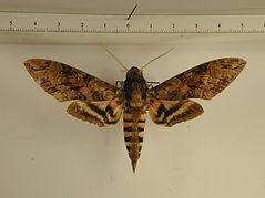 Agrius cingulatus mâle