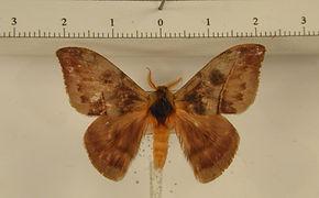 Hylesia annulata mâle