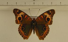 Junonia genoveva genoveva mâle