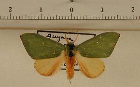 Rosema dorsalis mâle
