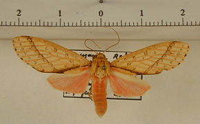 Haemaphlebiella formona mâle