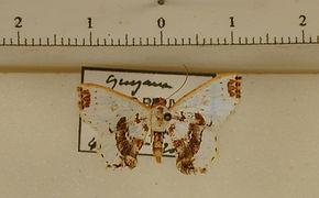 Berberodes fasciata mâle