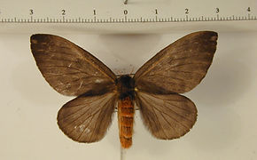Hylesia cottica femelle