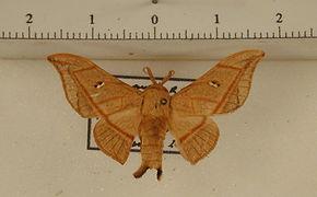 Cicinnus forbesi mâle