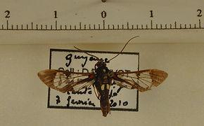 Pheia utica mâle