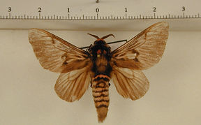 Megalopyge lanata mâle