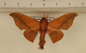 Cicinnus hamata mâle
