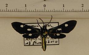 Calonotos triplagus mâle