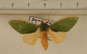 Moresa pallidicosta mâle
