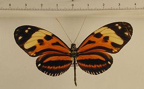 Heliconius ethilla thielei mâle