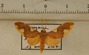 Trichromia carinaria mâle