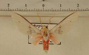 Idalus aleteria mâle