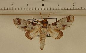 Sericochroa infanta mâle