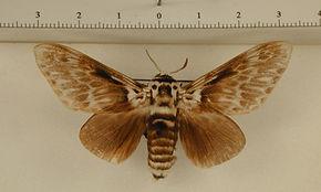 Podalia orsilocha orsilocha mâle