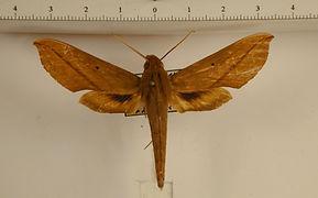 Xylophanes elara mâle