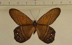 Pierella astyoche mâle