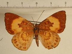 Synargis soranus femelle