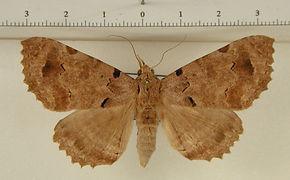 Orodesma biscritata mâle