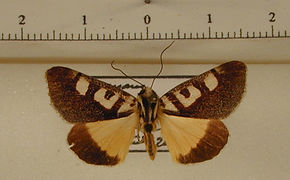 Neotuerta lycaon mâle