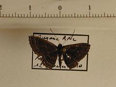 Eunogyra curupira mâle