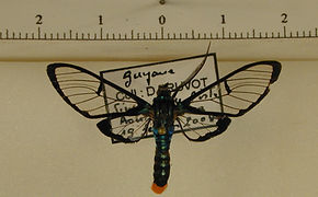 Aethria leucaspis mâle