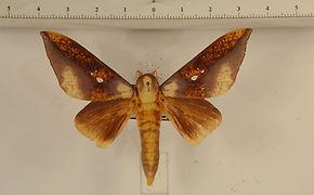 Adelowalkeria eugenia mâle