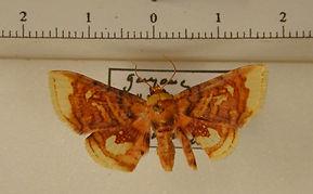 Tristina eporedia mâle