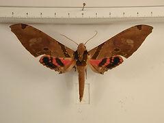 Adhemarius gagarini mâle