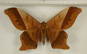Arsenura beebei mâle