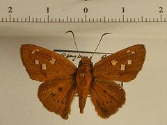 Oileides vulpinus guyanensis mâle