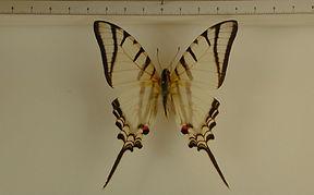 Protesilaus glaucolaus leucas